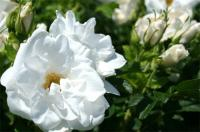 白い薔薇3