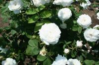 白い薔薇5