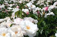 白い薔薇6