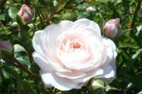 白い薔薇7
