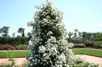 白い薔薇8