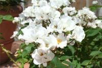 白い薔薇 初雪