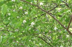 エゴの木1