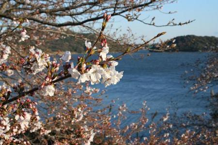 浜名湖と桜
