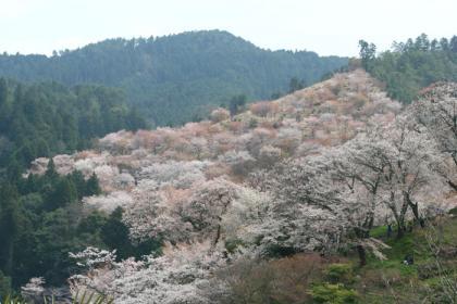 吉野千本桜1