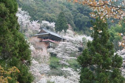吉野千本桜2