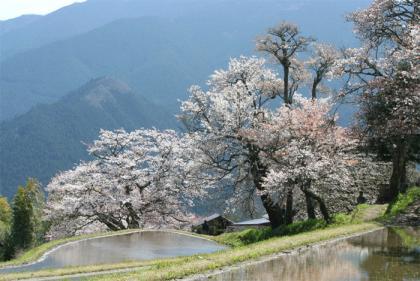 三多気の桜1
