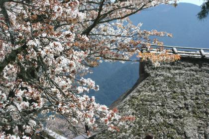 三多気の桜3