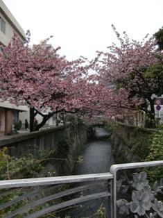 熱海桜(ブログ用)