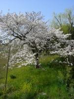 桜・菜の花・柳