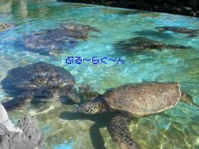 Hwaiian Green Sea Turtle