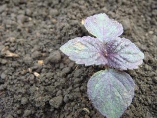 定植 赤紫蘇