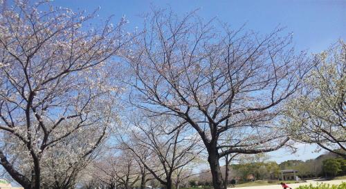 20103.21桜3
