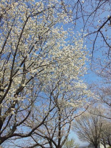 20103.21桜4