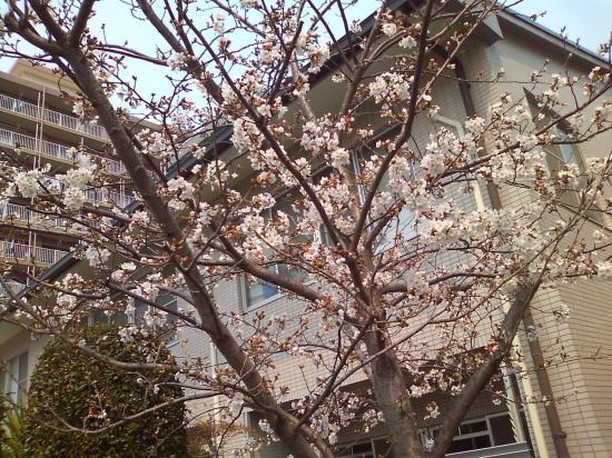 2011.3.30桜1