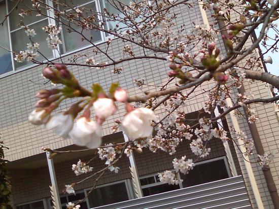 2011.3.30桜2