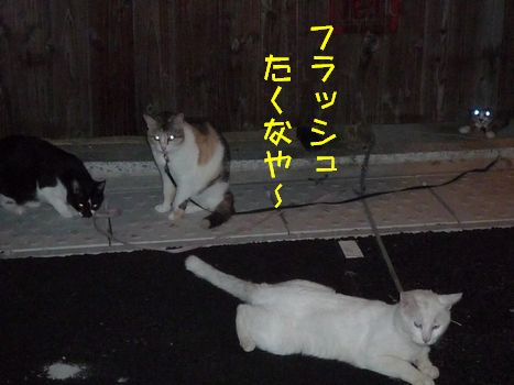 お散歩夜の部 いつもの3ネコの衆