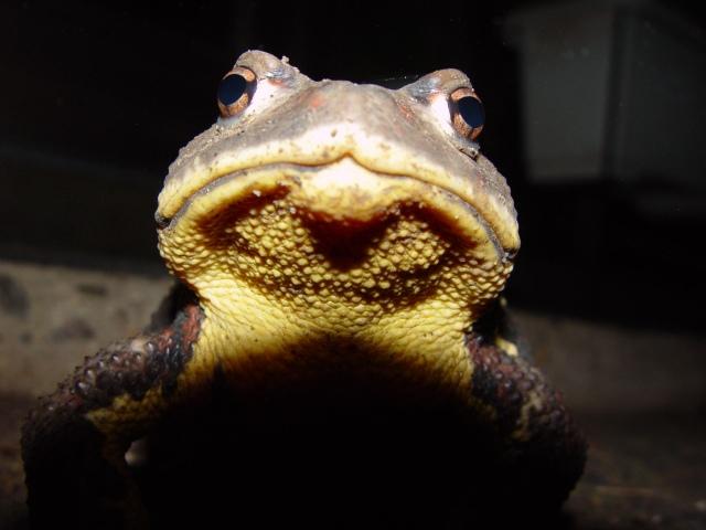 オヒキガエル