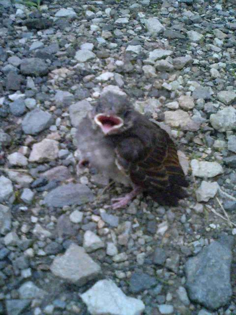 ヒヨドリの雛