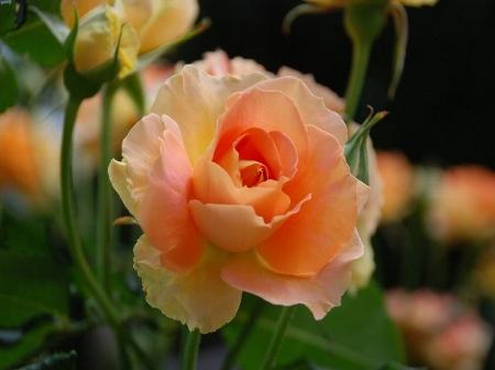 2007・05・15バラ1