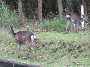 えびの高原の鹿2