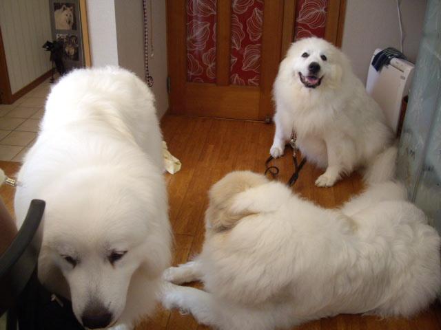 大型犬飼うのに憧れます