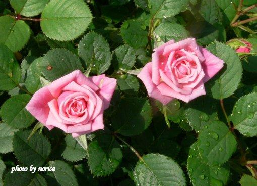 minibara-pink.jpg