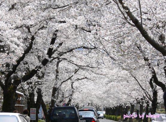 nagatoro-sakura.jpg