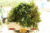 収穫してきたトラックの上の枝豆