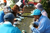 ベルトコンベアを流れる枝豆の選別 全体写真