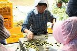 ベルトコンベアを流れる枝豆の選別 女性