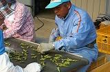 ベルトコンベアを流れる枝豆の選別 社長