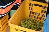 ベルトコンベアで選別した枝豆