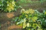収穫した枝豆