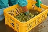 枝豆を水洗いする