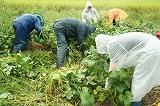 雨の中の枝豆収穫①
