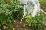 雨の中の枝豆収穫②