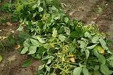 雨の中の枝豆収穫④