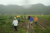 雨の中の枝豆収穫⑤