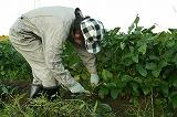 枝豆を刈り取る①