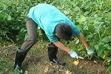 枝豆を刈り取る②