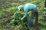 刈った枝豆をまとめる