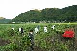 枝豆収穫風景