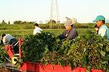 トラクターに枝豆を積む