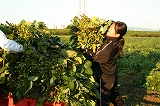 トラクターに枝豆を積む②