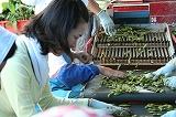 枝豆を選別する参加者