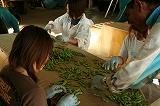 枝豆選別作業②