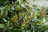 収穫してきた枝豆