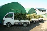 収穫してきた枝豆 トラック3台