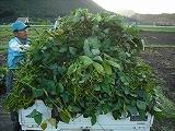 トラックにいっぱいの枝豆